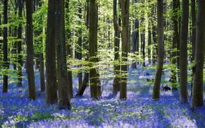 Картинка зелень, лес, свет, деревья, цветы, свежесть, ветки, природа, настроение, заросли, стволы, поляна, красота, весна, голубые, …