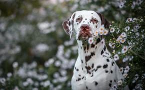 Картинка лето, взгляд, морда, цветы, природа, фон, портрет, собака, далматинец, боке