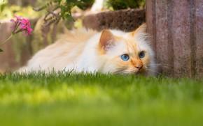 Картинка кошка, лето, трава, кот, взгляд, морда, поза, сад, рыжий, лужайка