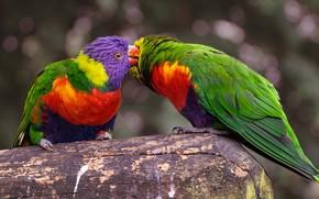 Картинка поцелуй, попугаи, красивые