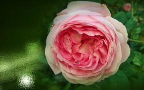 Картинка цветок, лето, природа, настроение, божья коровка, красота, шиповник, flower, красивые, flowers, beautiful, beauty, harmony, обои …