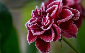 Картинка иней, цветок, роза, красная