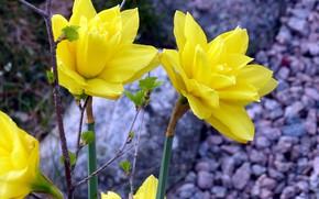 Картинка цветы, весна, клумба, нарциссы