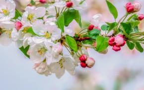 Картинка дождь, капля, apple, весна, яблоня, цветение, macro, drops, spring, bloom