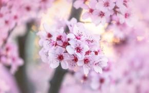 Картинка цветы, вишня, размытие, весна, сакура, нежные, розовые, цветение, боке