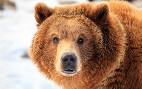 Картинка wet, bear, look, fur