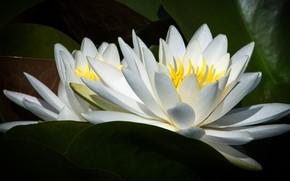 Картинка листья, макро, цветы, лилии, две, лепестки, белые, водяные лилии, нимфеи