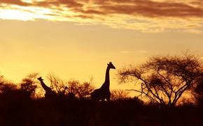 Картинка силуэт, жираф, Африка