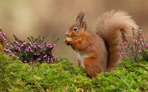 Картинка цветы, фон, мох, орех, белка, рыжая, белочка, грызун, орешек, трапеза, вереск