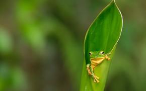 Картинка макро, зеленый, листок, лягушка, лапки, зеленая, размытый фон, свернутый
