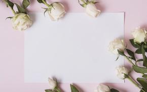 Картинка цветы, розы, лепестки, white, белые, розовый фон, pink, flowers, petals, roses