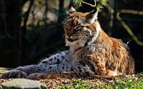 Картинка взгляд, морда, свет, ветки, природа, поза, отдых, лежит, рысь, дикая кошка