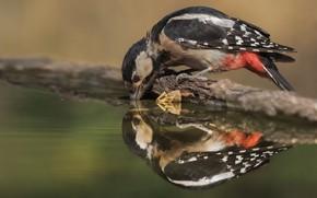Картинка вода, отражение, фон, птица, дятел, водопой, водоем