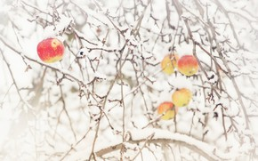Картинка снег, природа, яблоки, яблоня