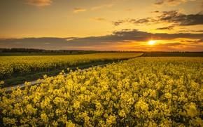 Картинка закат, весна, рапс