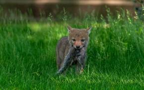 Картинка трава, волк, хищник, малыш, хвост, щенок, добыча, волчонок, койот