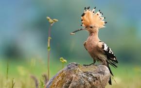 Картинка природа, птица, камень, удод, Ботев Калин