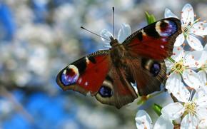 Картинка макро, цветы, узор, бабочка, крылья, ветка, весна, насекомое, цветение, голубой фон, павлиноглазка