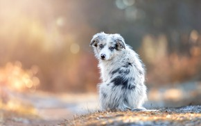 Картинка осень, трава, взгляд, свет, снег, природа, поза, блики, спина, собака, малыш, щенок, мордашка, сидит, боке, ...