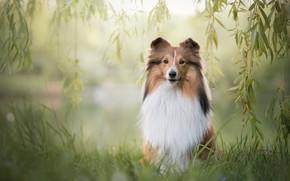 Обои лето, трава, взгляд, листья, ветки, природа, поза, зеленый, фон, собака, малыш, рыжий, щенок, мордашка, сидит, ...