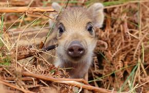 Картинка взгляд, морда, малыш, сено, солома, кабан, детеныш, кабанчик, поросенок, свин, свинтус