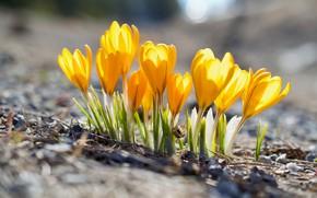 Картинка поляна, весна, желтые, крокусы, боке