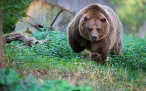 Картинка трава, взгляд, морда, природа, медведь, мишка, прогулка, бурый, упитанный, бомбастер