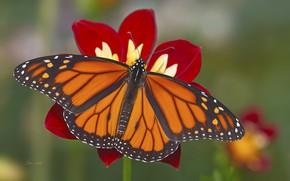 Обои цветок, фон, бабочка