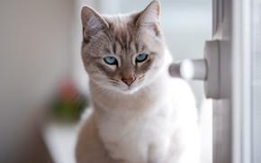 Картинка кошка, взгляд, мордочка, голубые глаза, котейка
