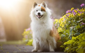 Картинка язык, лето, взгляд, свет, цветы, природа, поза, фон, собака, пасть, щенок, сидит, клумба, пятнистая, евразиер, …