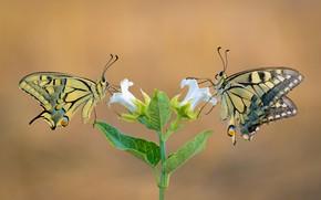 Картинка цветок, макро, бабочки, пара, махаон