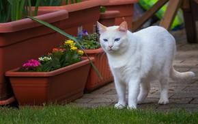 Картинка кошка, белый, кот, взгляд, цветы, газон, плитка, весна, сад, белая, прогулка, голубые глаза, горшки