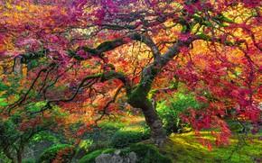 Картинка осень, дерево, гигант, клен