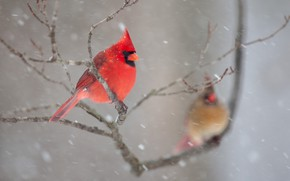 Картинка зима, снег, птицы, ветки, природа, пара, кардинал