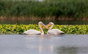 Картинка лето, вода, цветы, птицы, природа, поза, пруд, берег, две, клюв, желтые, пара, парочка, дуэт, два, ...