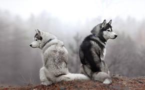 Обои осень, лес, собаки, взгляд, природа, поза, туман, две, утро, пара, парочка, дуэт, хаски, сидят, две ...