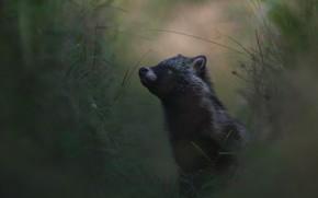 Картинка портрет, взгляд, темный фон, природа, енот, черный, трава