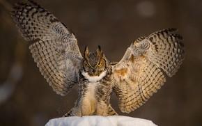 Картинка снег, фон, сова, птица, крылья, Филин