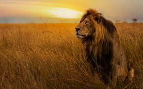 Обои поле, небо, трава, взгляд, закат, поза, лев, грива, царь зверей, сидит, дикая кошка