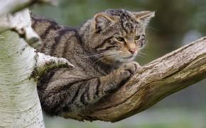 Картинка кошка, кот, поза, серый, ветка, полосатый, дикий, лесной, дикий кот