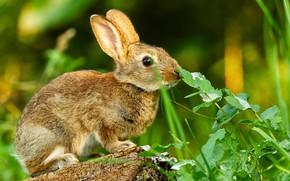 Картинка зелень, лето, трава, взгляд, листья, серый, заяц, пень, кролик, зайка, мордашка, зайчонок