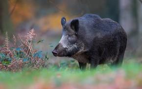 Картинка взгляд, морда, черный, растения, свинья, кабан, папоротник, дикая природа, свинка, боке, размытый фон, кабанчик, пятачок, ...