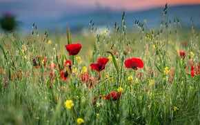 Картинка зелень, поле, лето, трава, цветы, маки, луг, красные, колосья, боке