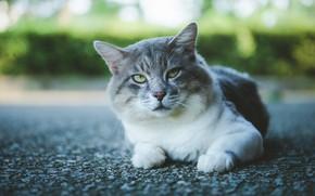 Картинка дорога, кошка, кот, взгляд, асфальт, морда, серый, фон, портрет, лапы, лежит, кусты, зеленые глаза, боке, …
