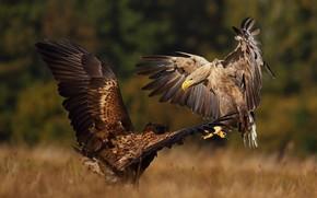 Картинка осень, птицы, природа, хищники, пара, орлы, разборки, Łukasz Sokół