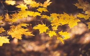 Картинка осень, листья, ветки, размытие, желтые, клён, кленовые, боке