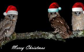 Картинка сова, птица, фотошоп, новый год, рождество, ветка, три, черный фон, совы, трио, трое, поздравление, композиция, …