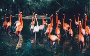 Картинка вода, природа, фламинго