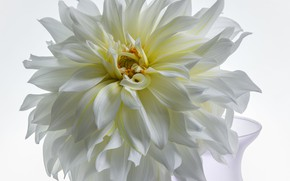 Картинка цветок, георгина, белая георгина