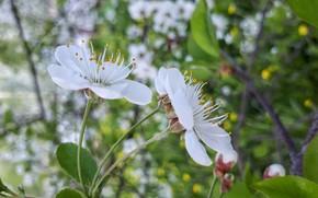 Картинка природа, вишня, цветение